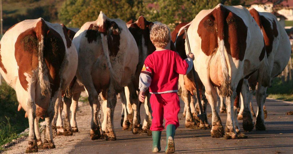 Du lait au comté