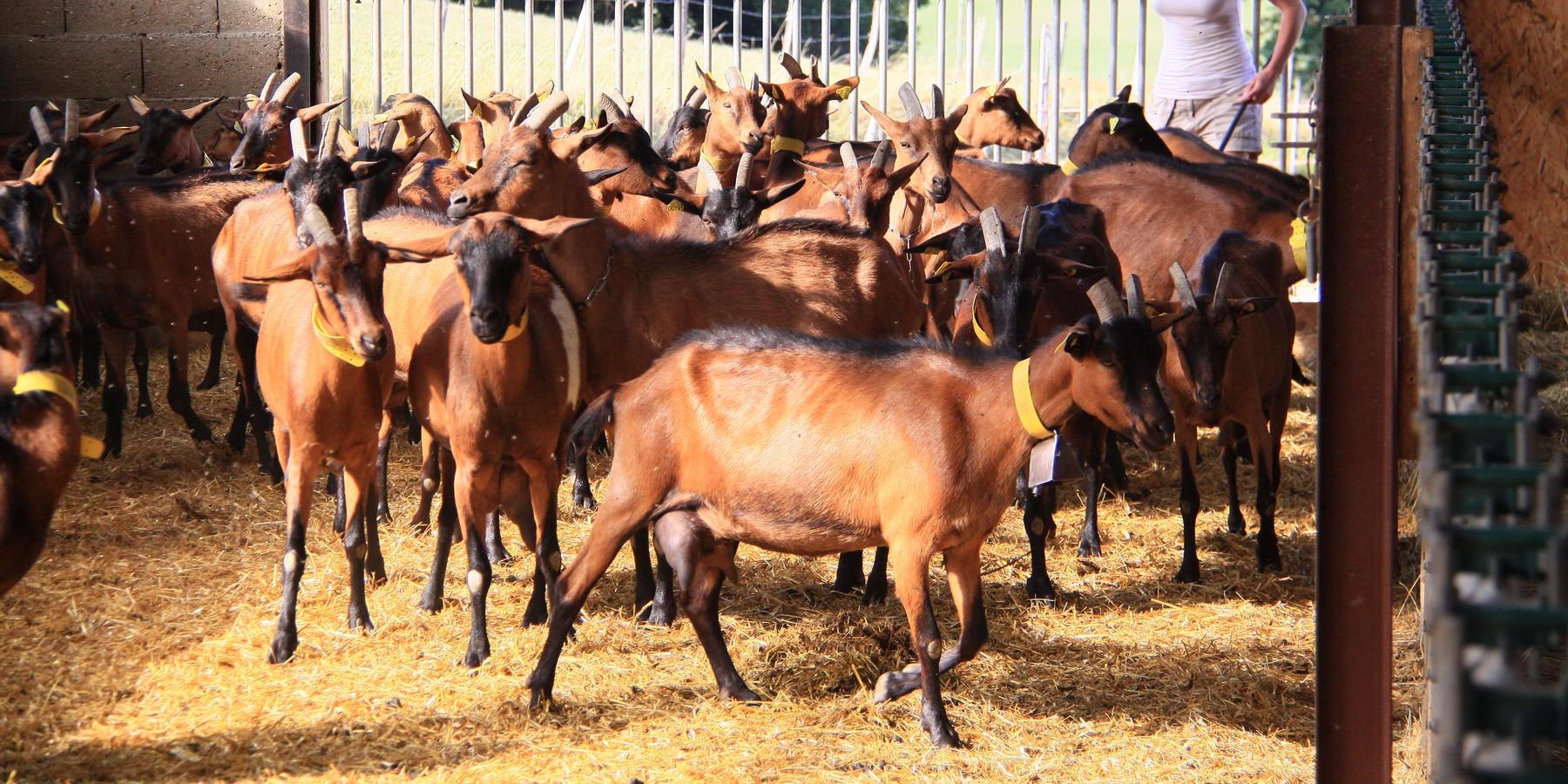 vaches montbéliardes a vendre